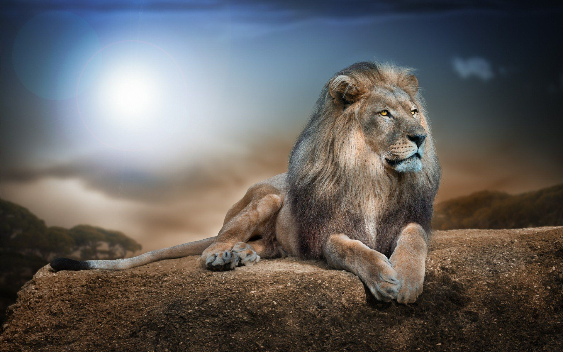Hình nền laptop sư tử
