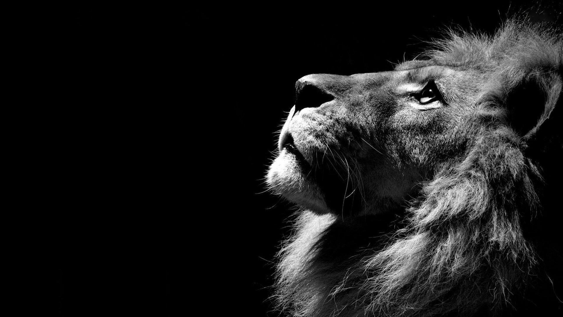 Hình nền sư tử full HD