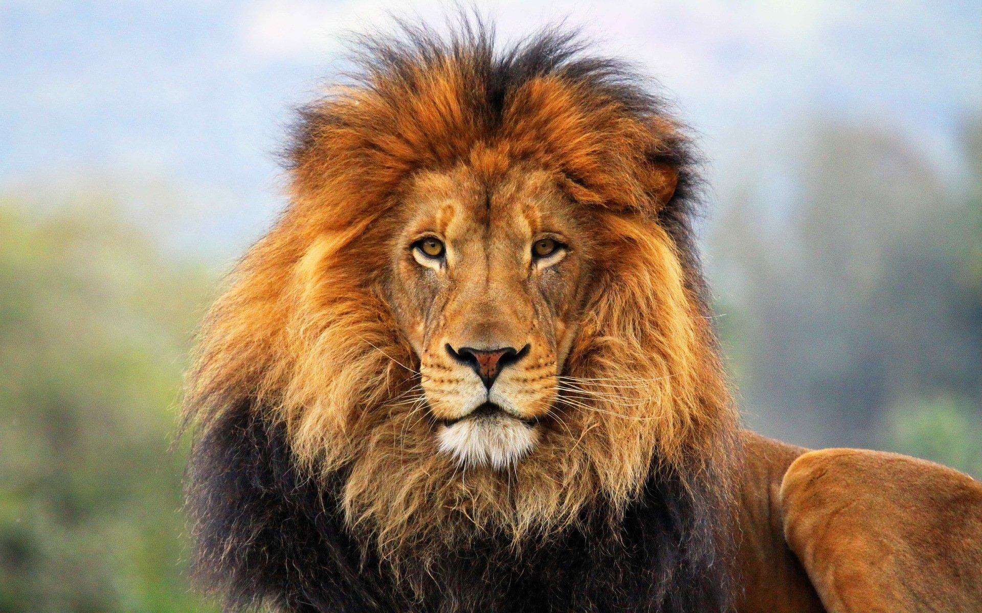 Hình nền sư tử hoang dã
