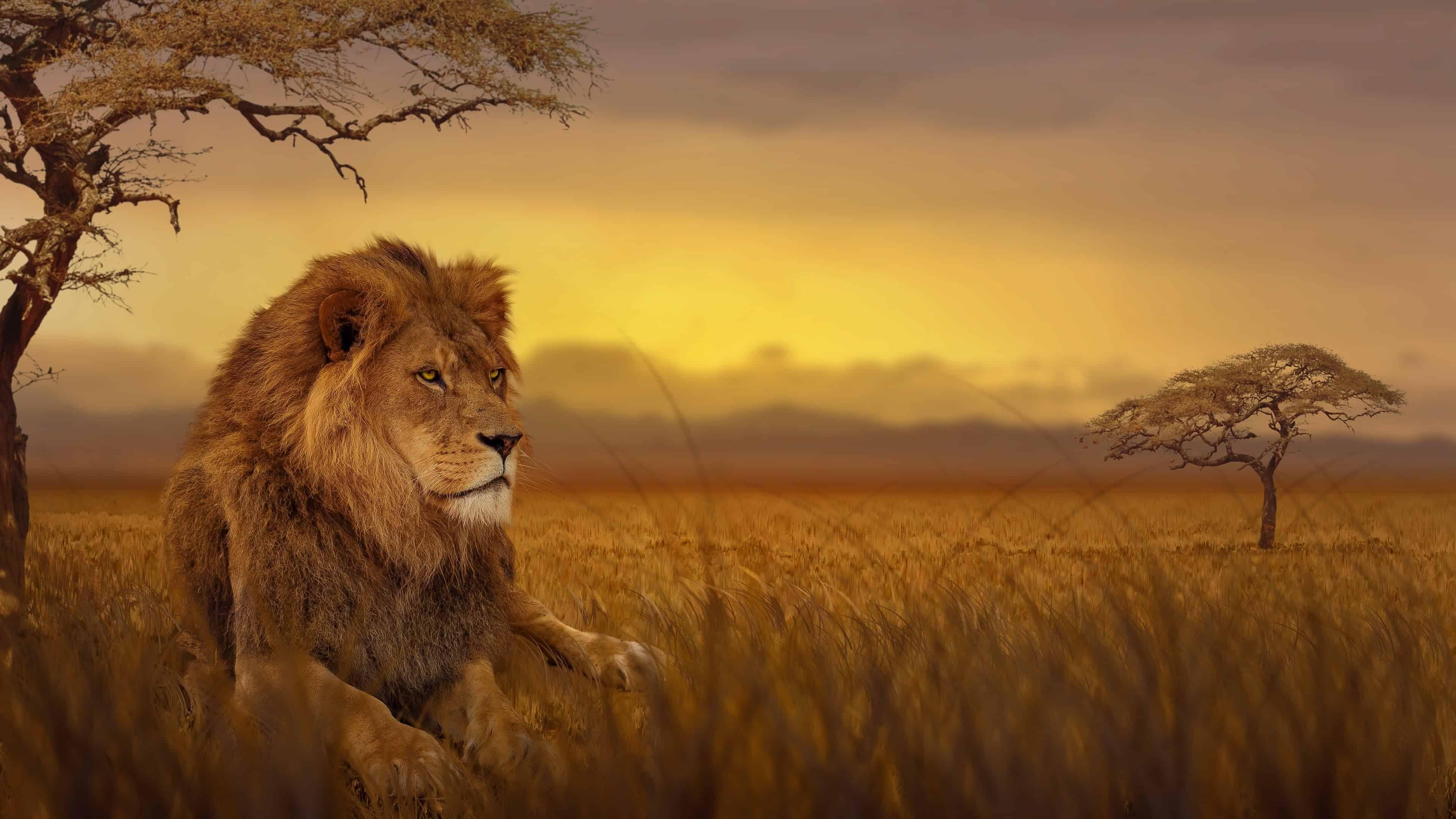 Hình nền sư tử ngoài thiên nhiên hoang dã