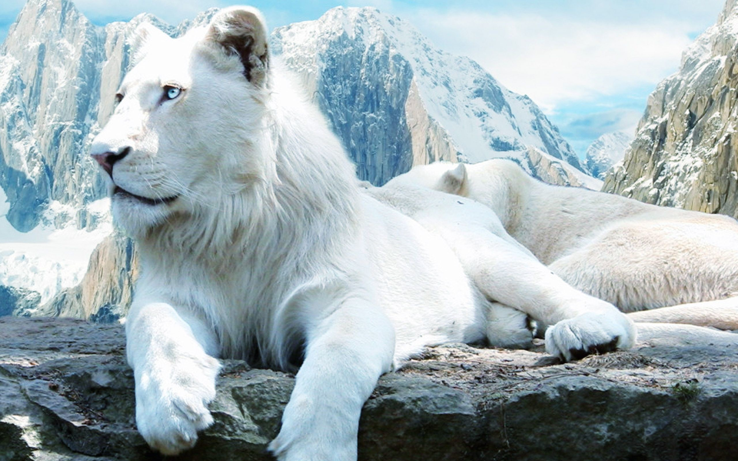 Hình nền sư tử trắng cho máy tính