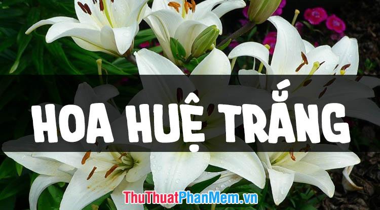 Những hình ảnh hoa huệ trắng đẹp nhất