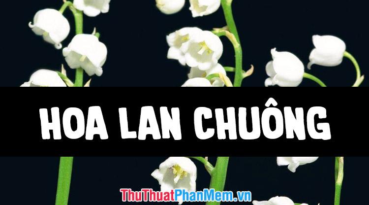 Những hình ảnh hoa Lan Chuông đẹp nhất