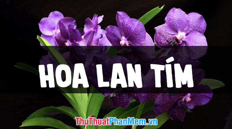 Những hình ảnh hoa lan tím đẹp nhất