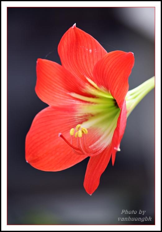 Ảnh hoa loa kèn cực đẹp
