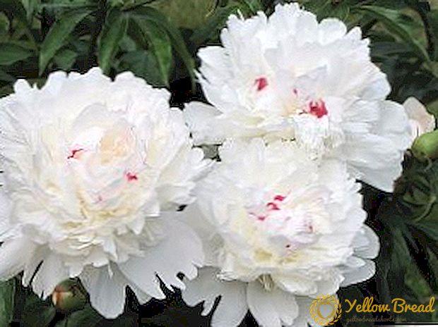 Ba bông mẫu đơn trắng đẹp mắt