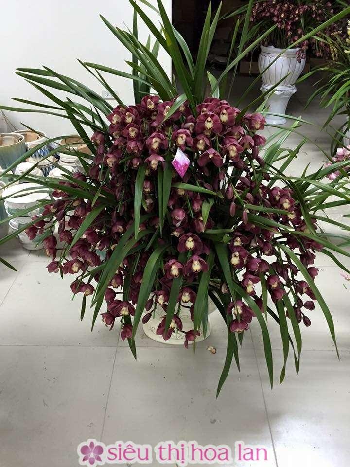 Bông hoa địa lan tím hột