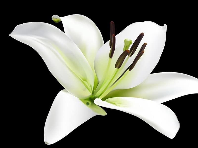 Bông hoa huệ mới nở cực đẹp