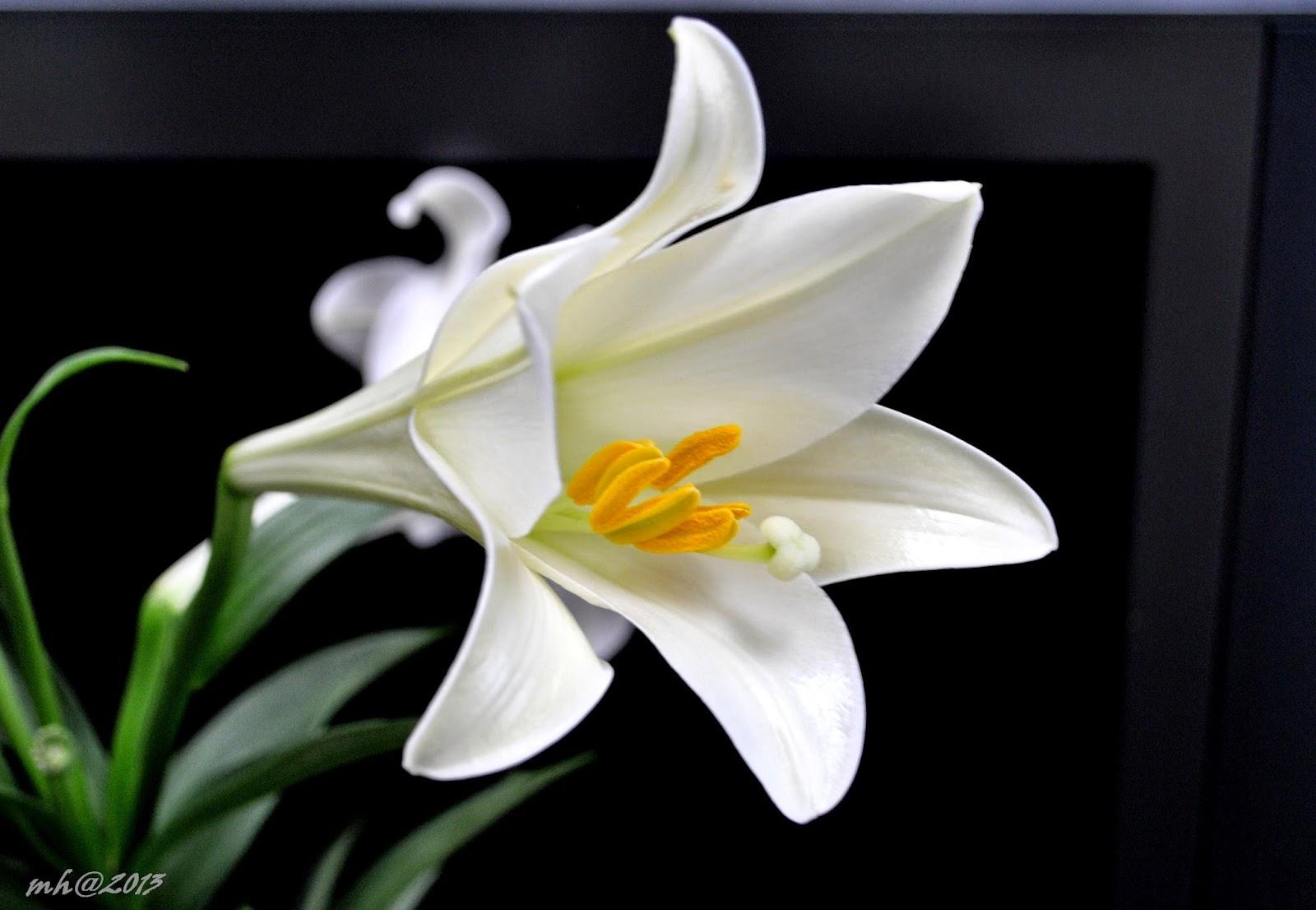 Bông hoa huệ trắng nở rộ cực đẹp
