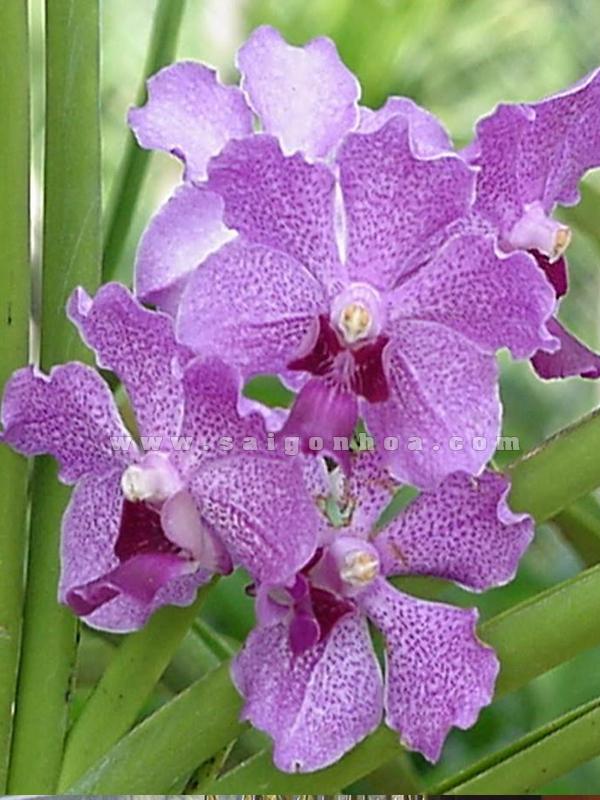 Bông hoa lan tím vanda cực đẹp