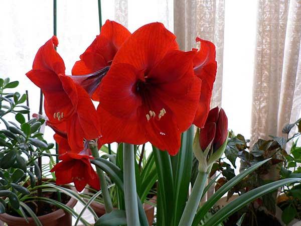 Bông hoa loa kèn đỏ chụm lại thành chùm