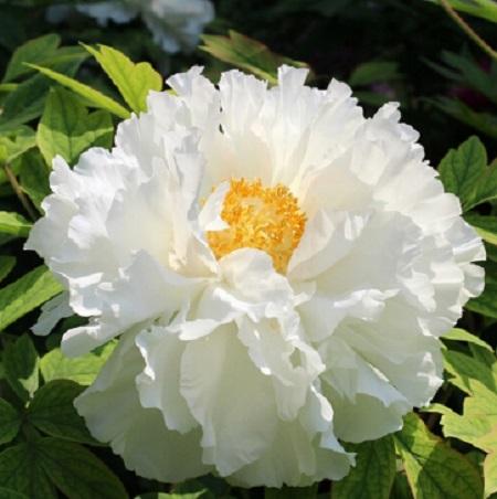 Bông hoa mẫu đơn nở rộ khoe sắc