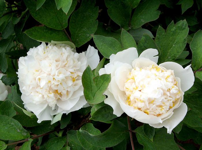Bông hoa mẫu đơn trắng khoe sắc rực rỡ