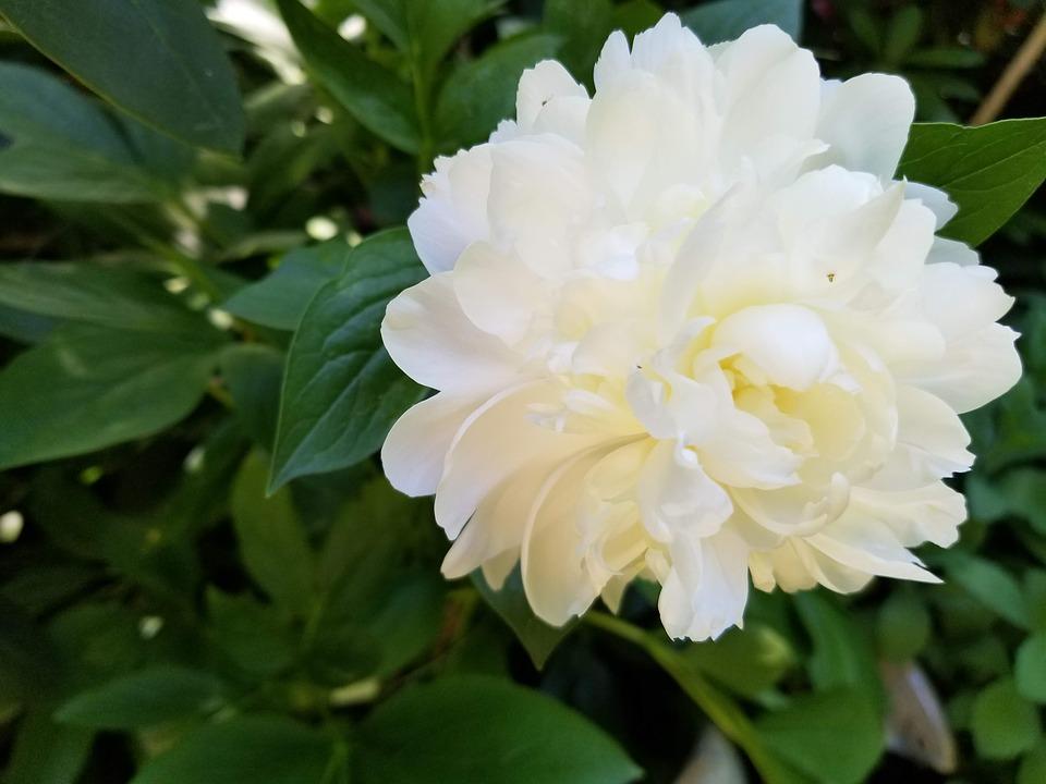 Bông hoa mẫu đơn trắng mỹ lệ