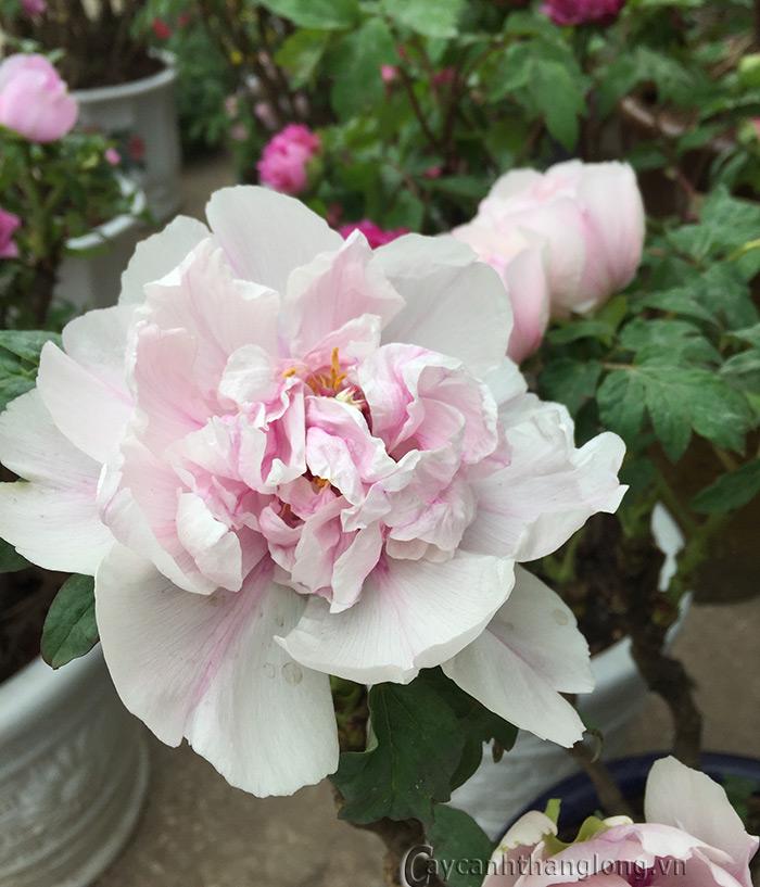 Bông hoa mẫu đơn trắng trong vườn