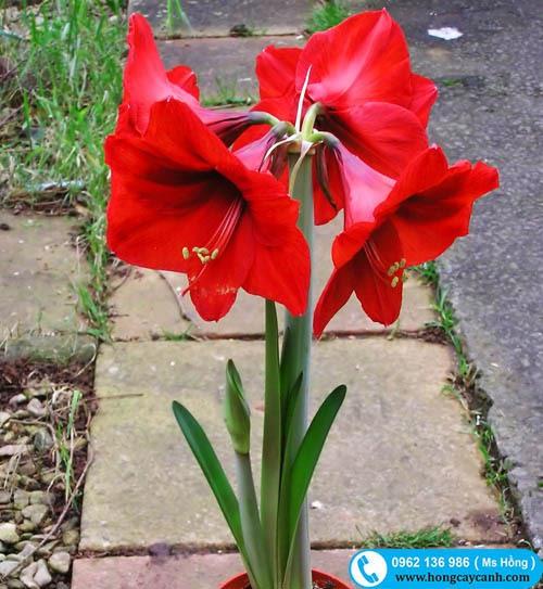 Bông hoa nhài đỏ chụm lại thành chùm