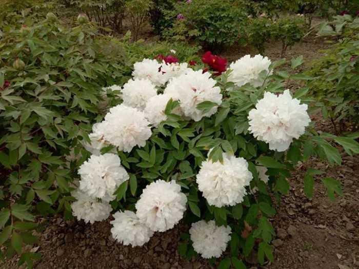 Bụi hoa mẫu đơn trắng cực kỳ đẹp mắt