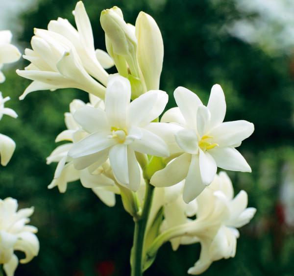 Cả một chùm hoa huệ trắng cực kỳ đẹp mắt
