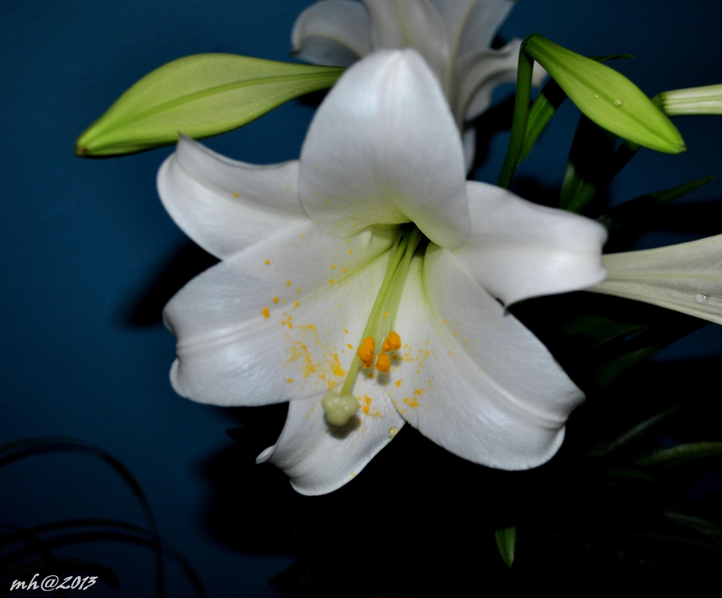 Cận cảnh bông hoa huệ trắng
