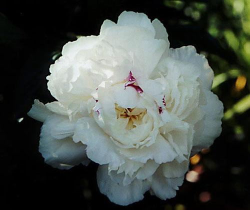 Cận cảnh bông hoa mẫu đơn trắng đẹp mắt