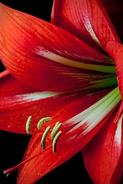 Cận cảnh hoa loa kèn đỏ cực kỳ đẹp mắt