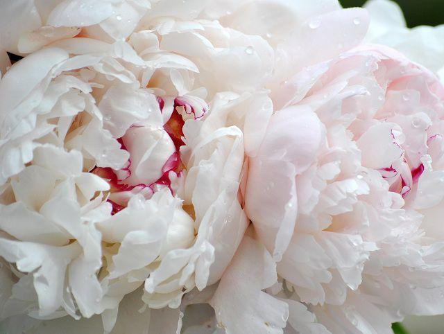 Cận cảnh hoa mẫu đơn trắng đẹp