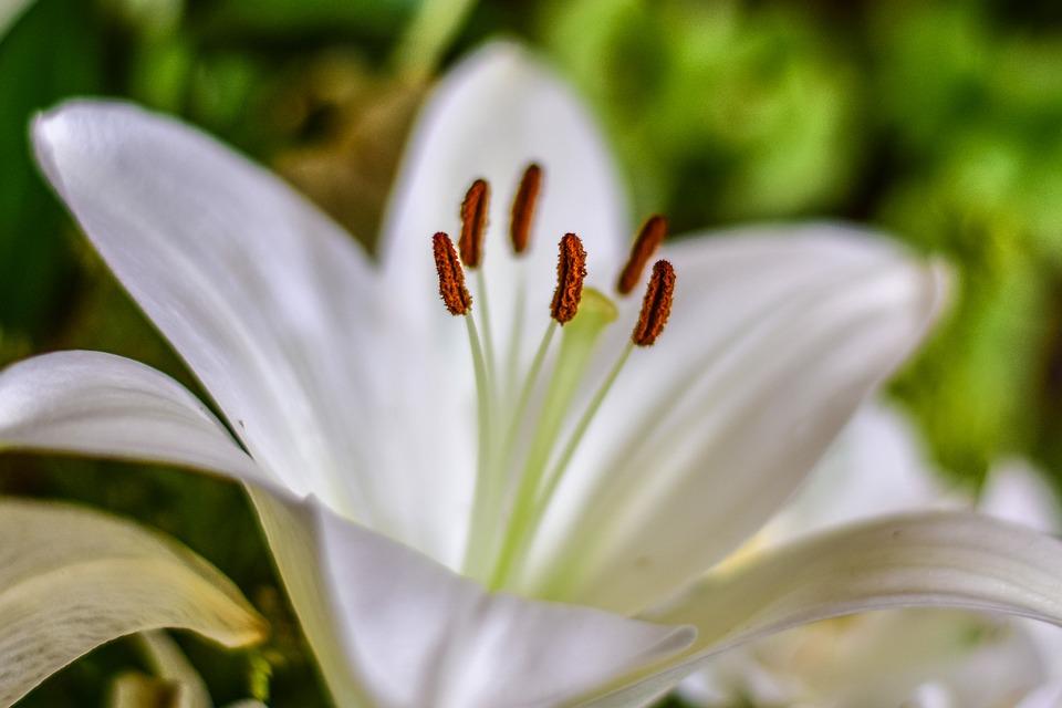 Cành hoa huệ trắng nở rộ đẹp