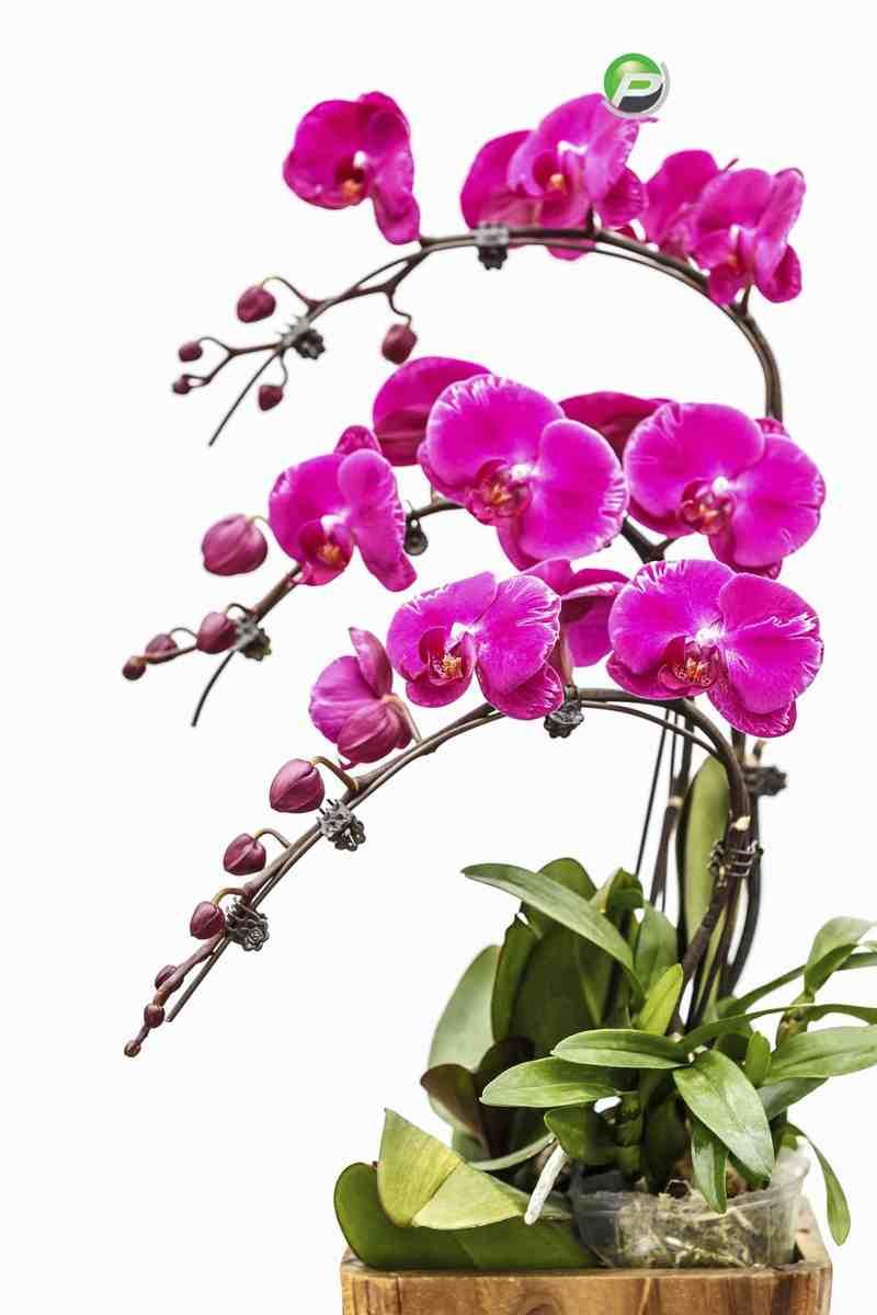 Cành hoa lan tím uốn cong cực đẹp