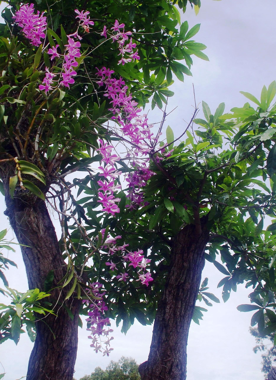Cây hoa lan tím cực kỳ đẹp mắt
