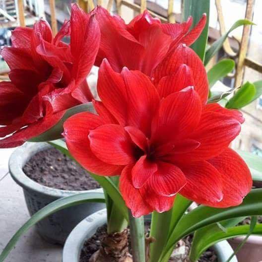 Cây hoa loa kèn có nhiều lớp cánh