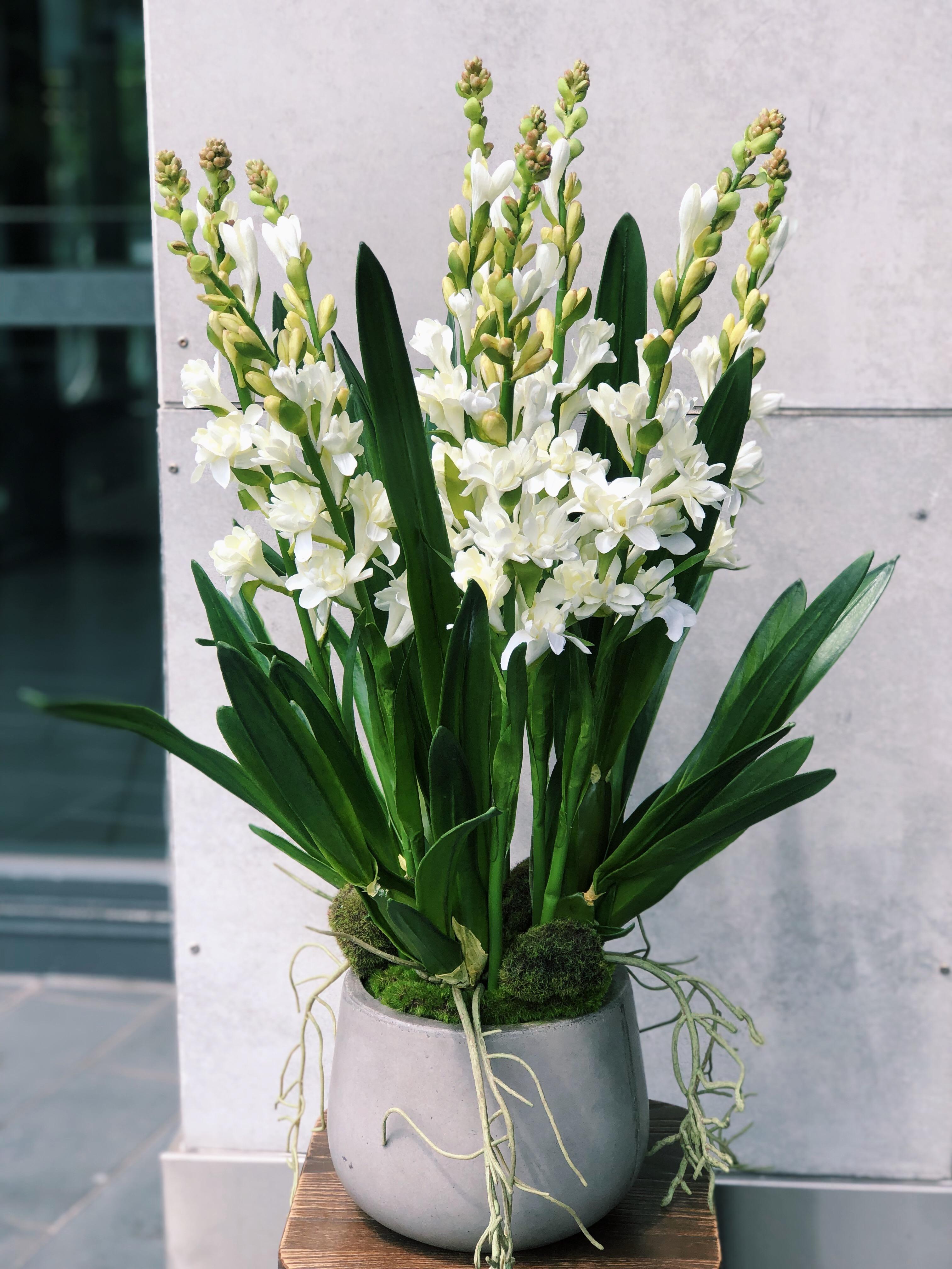 Chậu hoa huệ cực kỳ đẹp
