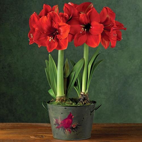 Chậu hoa loa kèn đỏ có hai gốc