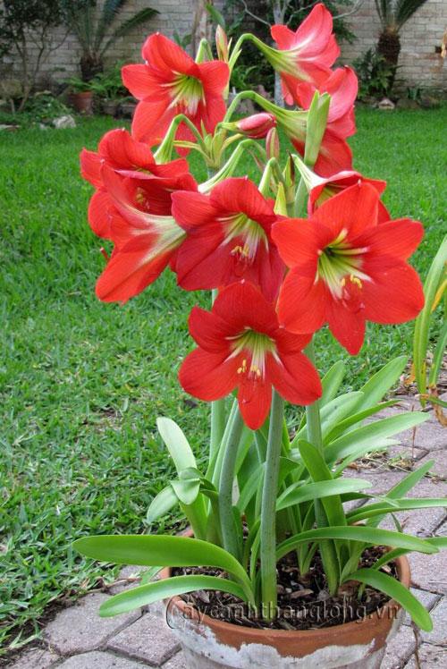 Chậu hoa loa kèn đỏ cực đẹp