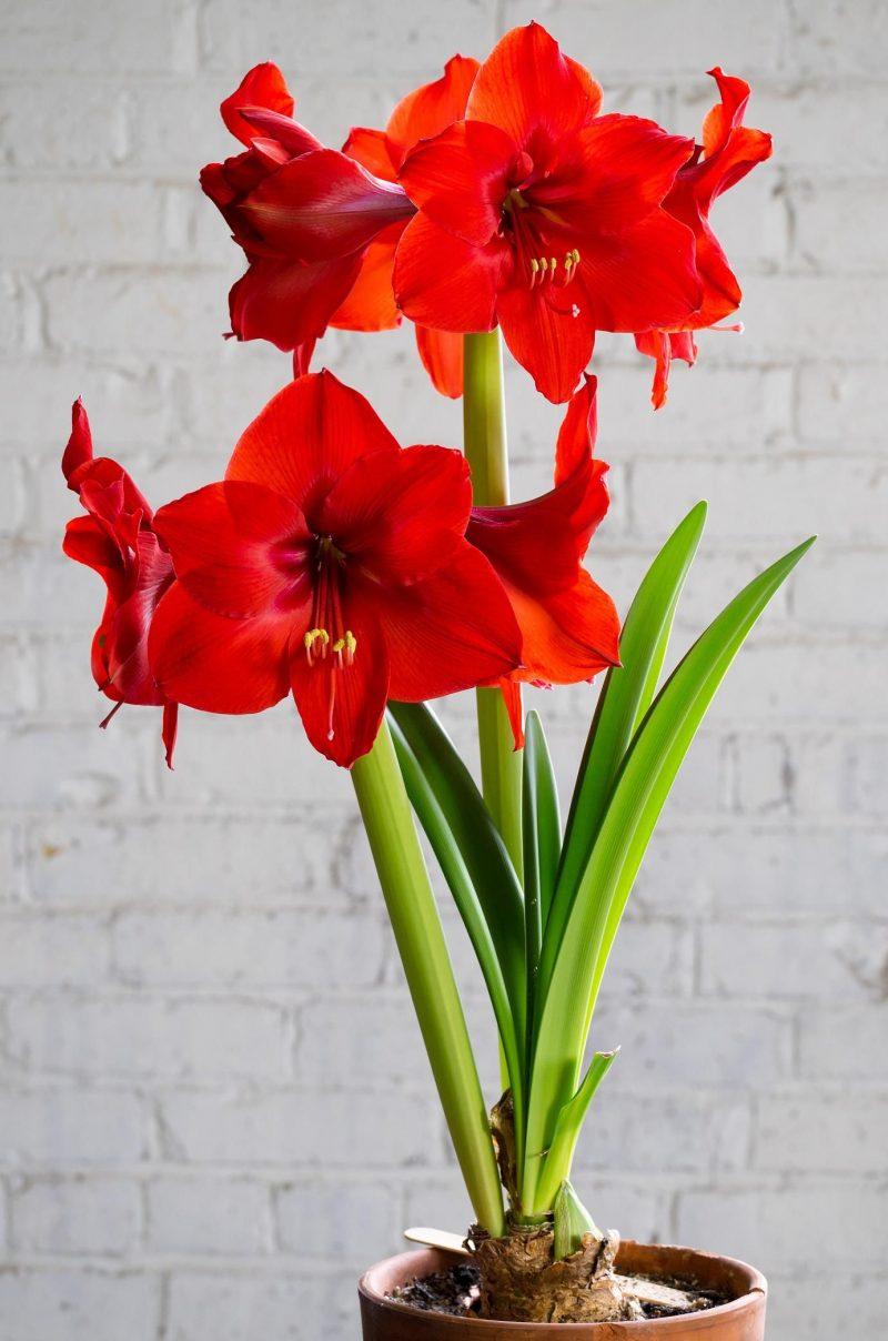 Gốc cay hoa loa kèn đỏ cực đẹp