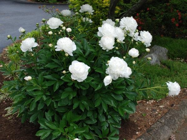 Gốc cây hoa mẫu đơn đẹp mắt