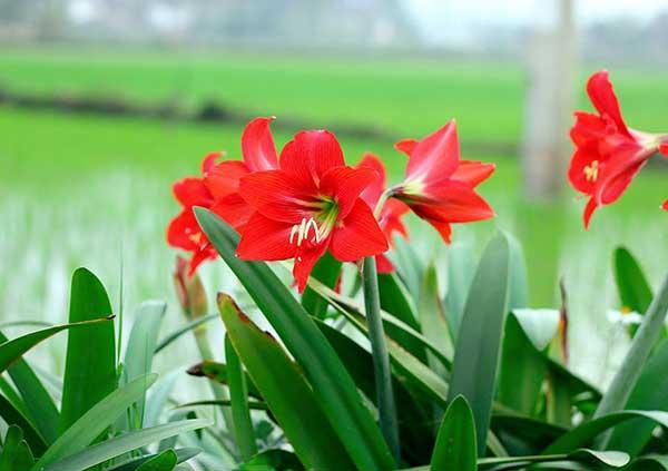 Gốc hoa kèn đỏ cực đẹp mọc bên ruộng