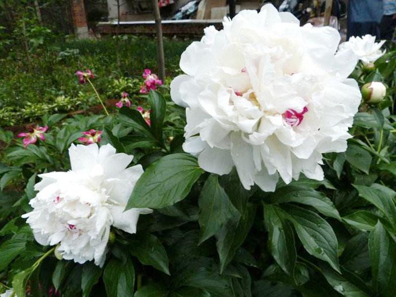 Hai bông mẫu đơn trắng cực đẹp