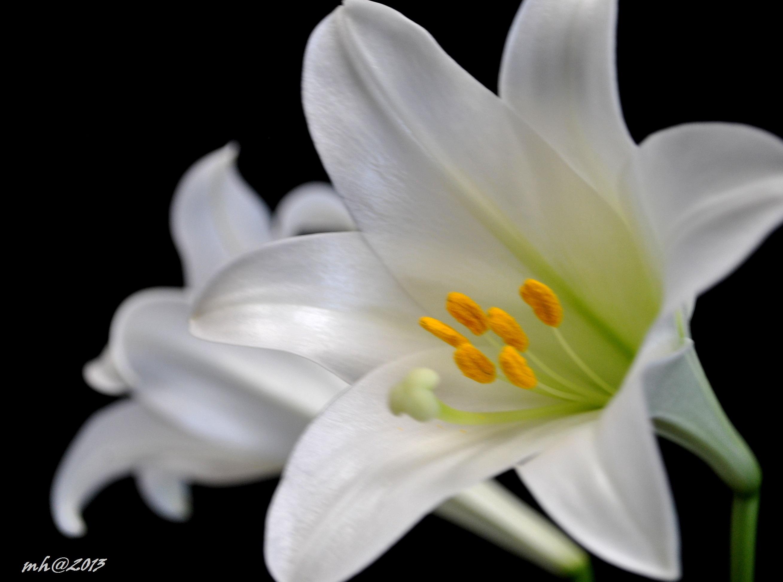 Hình ảnh bông hoa huệ nở rộ rất đẹp