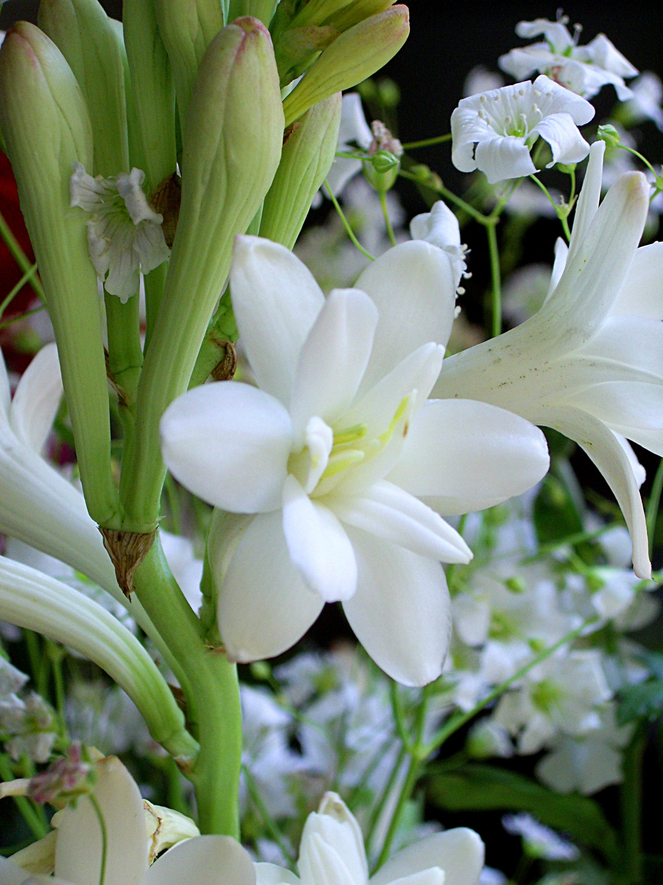 Hình ảnh các bông hoa huệ trắng rất đẹp