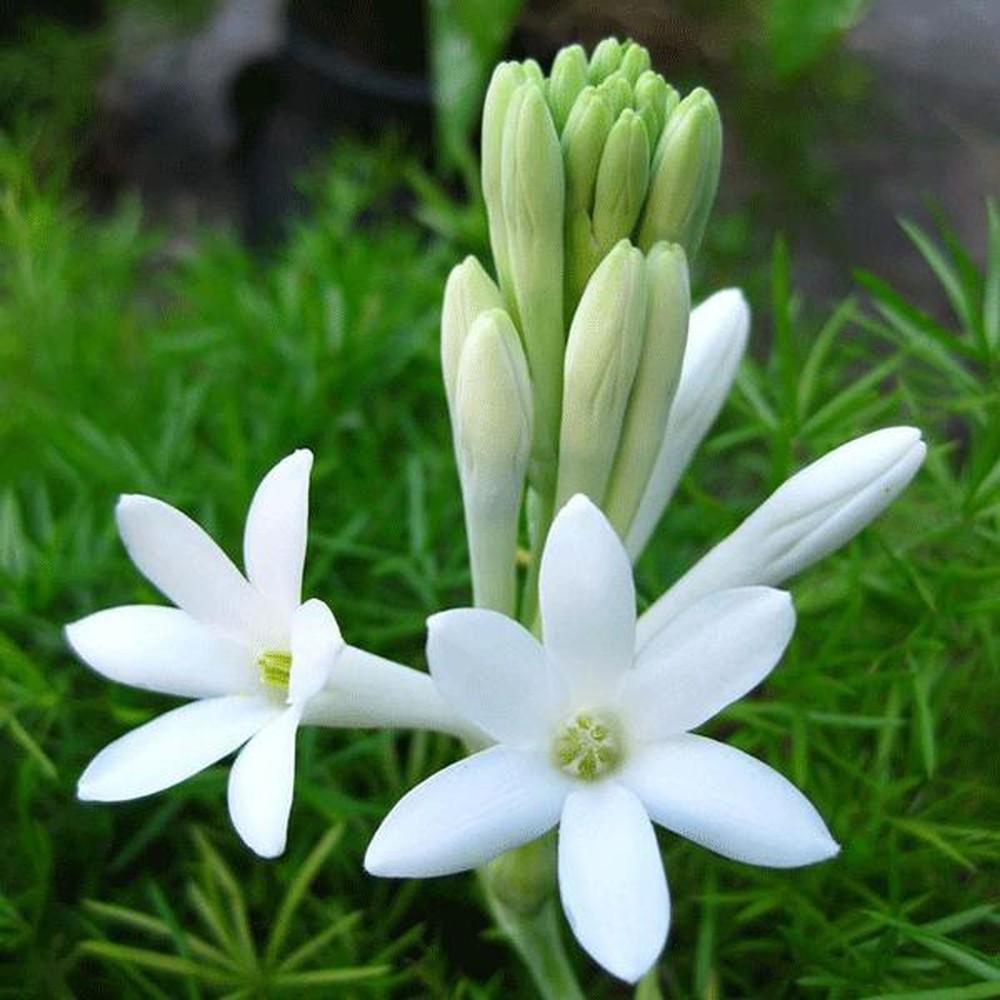 Hình ảnh hai bông hoa huệ trắng rất đẹp
