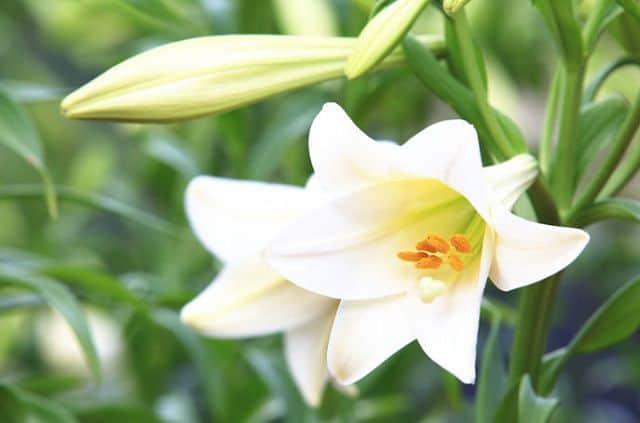 Hình ảnh hai bông huệ trắng rất đẹp