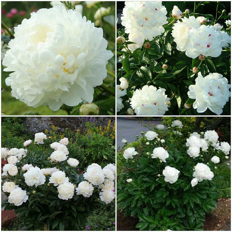 Hình ảnh hoa mẫu đơn trắng đẹp