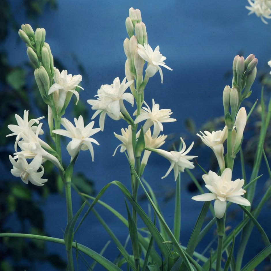 Hình ảnh những chùm hoa huệ cực kỳ đẹp mắt
