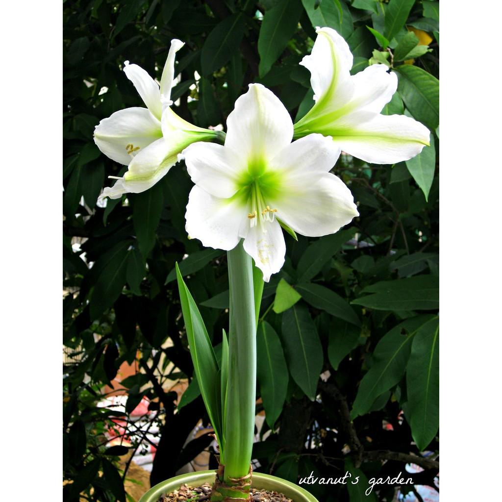 Hoa huệ cực đẹp có ba bông