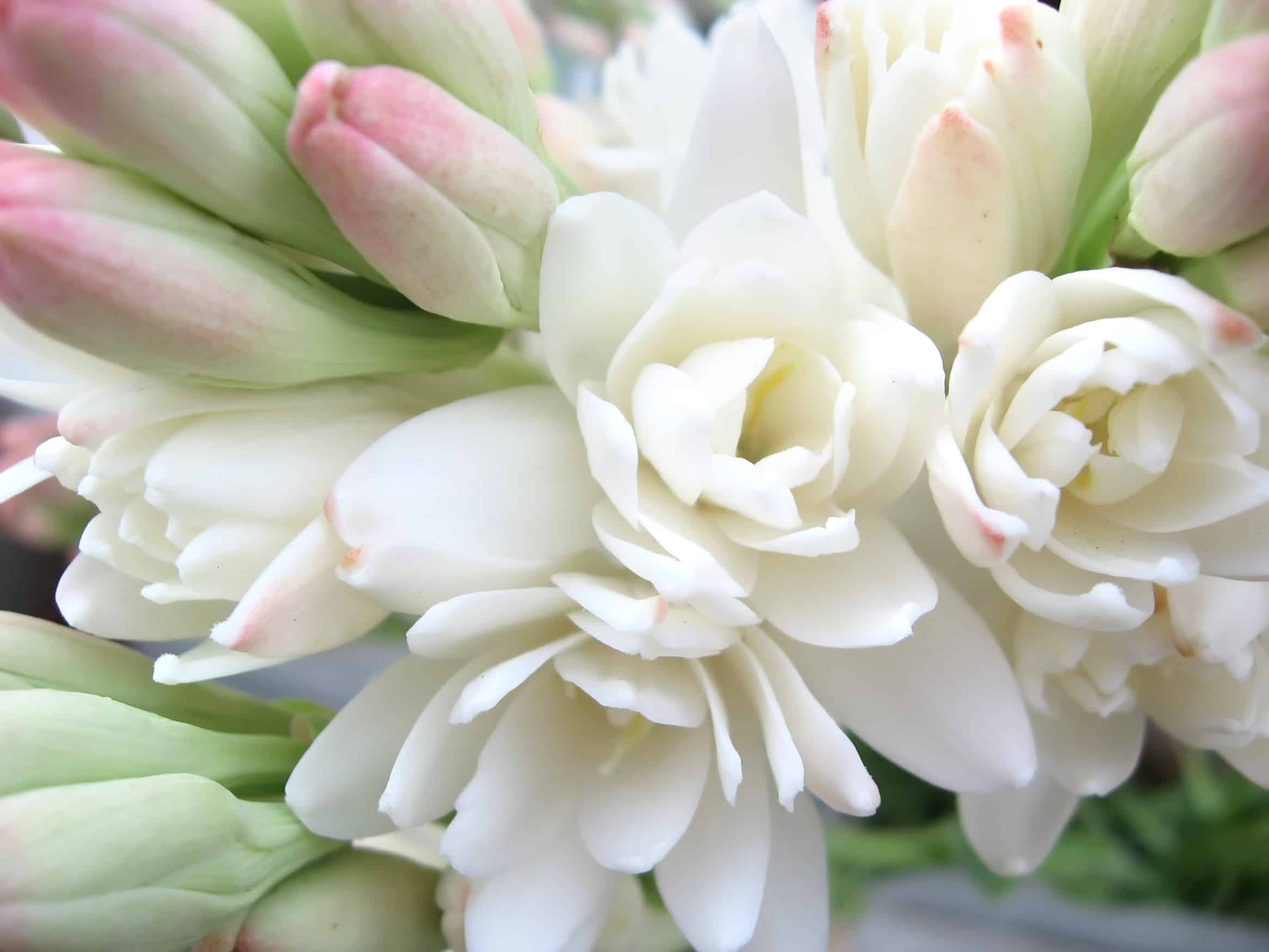 Hoa huệ cực đẹp