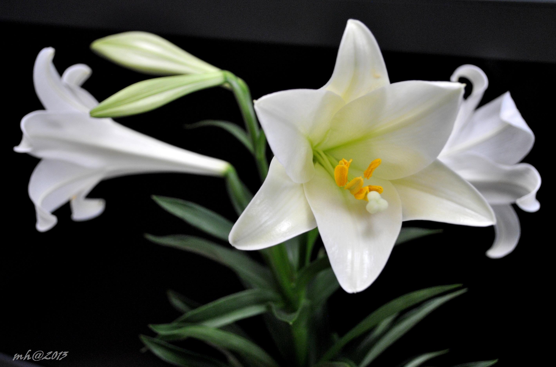 Hoa huệ trắng bằng nhựa bất diệt