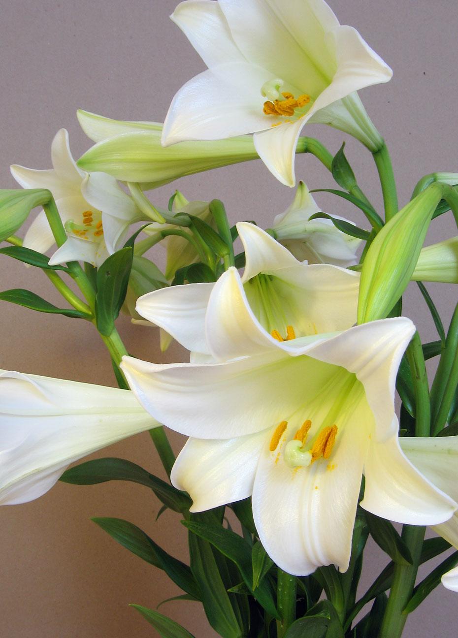 Hoa huệ trắng cắm chung một chỗ rất đẹp
