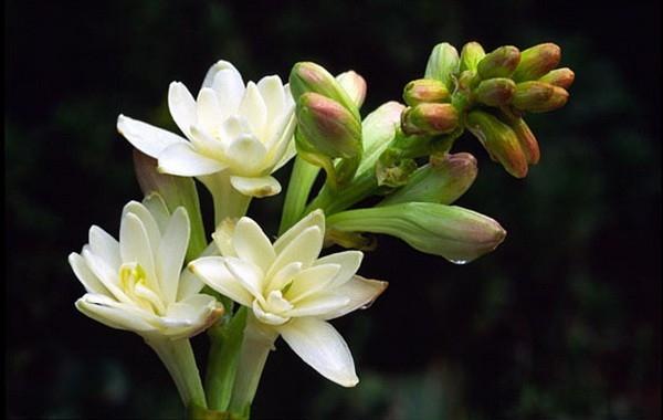 Hoa huệ trắng đẹp đọng sương mai