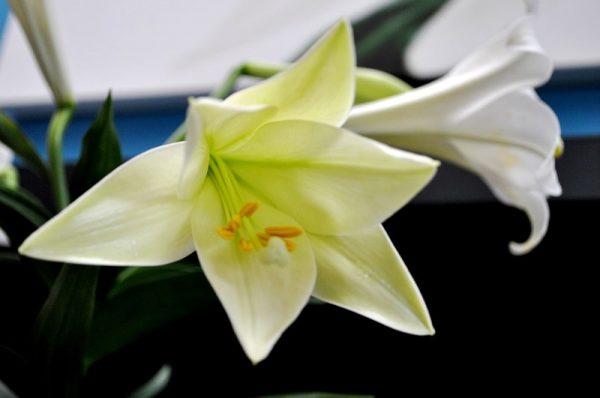 Hoa huệ trắng hơi ngả vàng nở bung rất đẹp