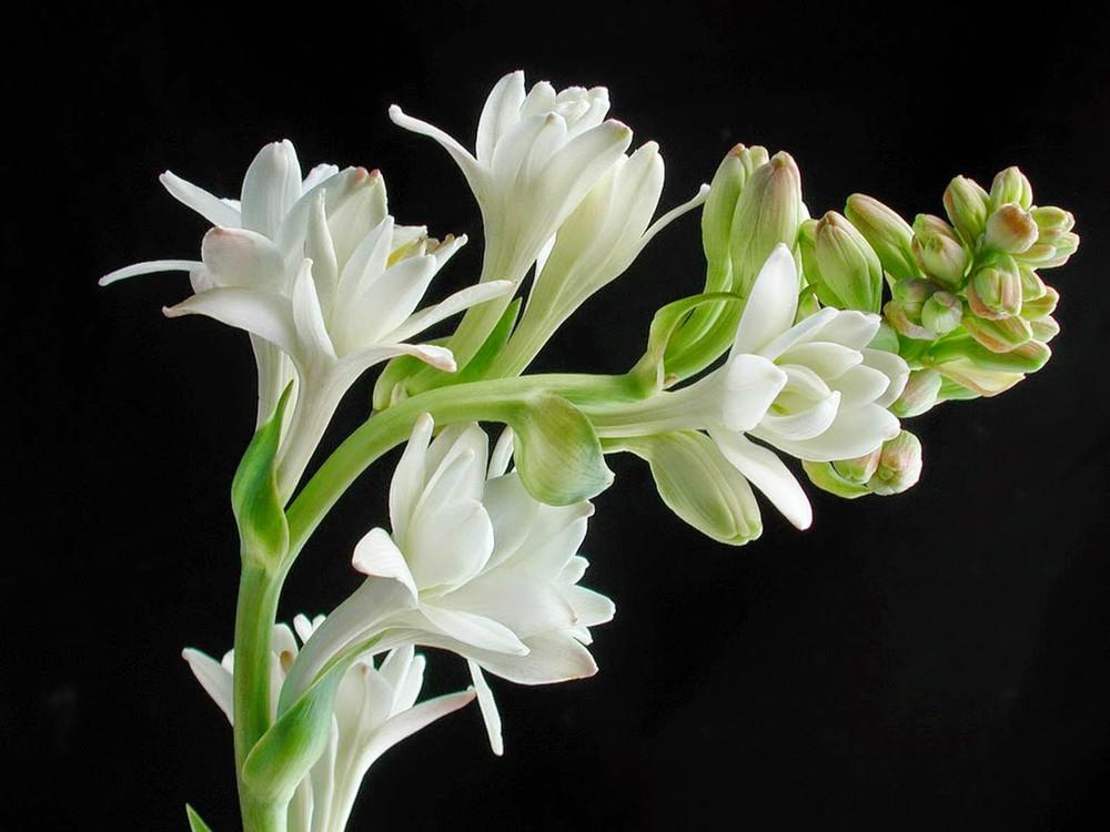 Hoa huệ trắng nhiều bông rất đẹp
